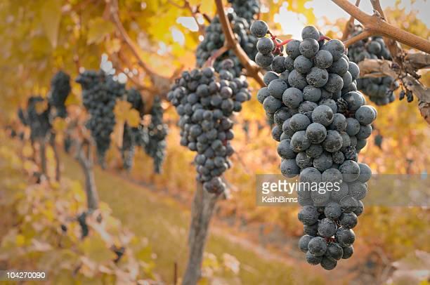 秋のブドウ - cabernet sauvignon grape ストックフォトと画像