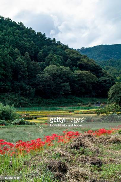 Autumn harvest and cluster amaryllis