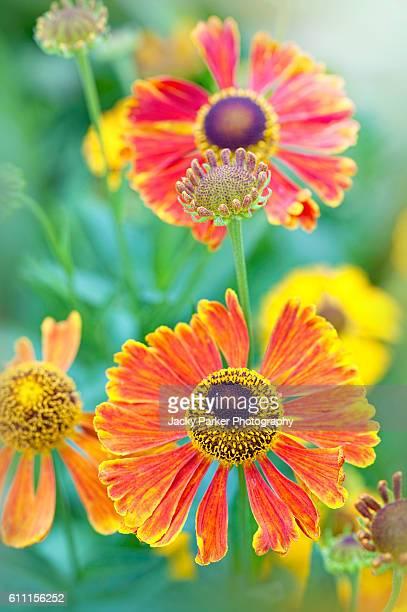 Autumn Helenium Flowers