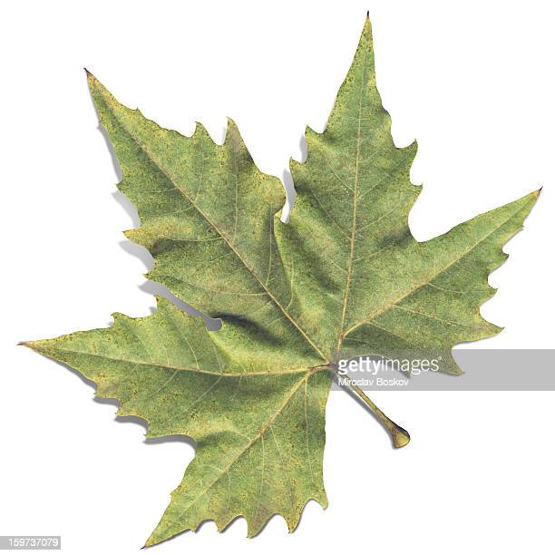 Autumn High Resolution Isolated Dry Maple Leaf