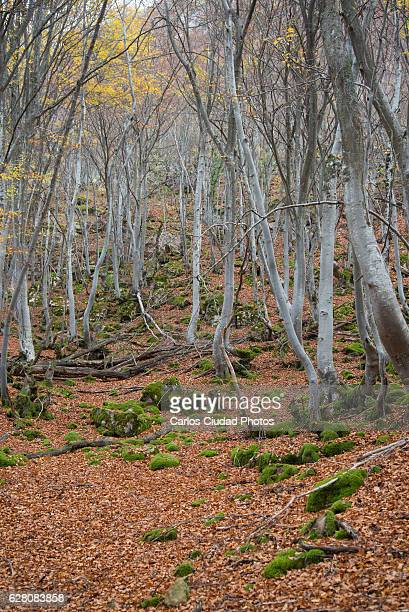autumn hiking in faedo de orzonaga, león, spain - foresta temperata foto e immagini stock