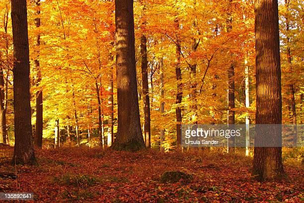 Autumn in beech forest