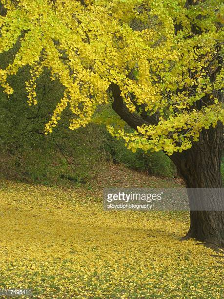 autumn in  central park, new york, usa - stevebphotography stock pictures, royalty-free photos & images