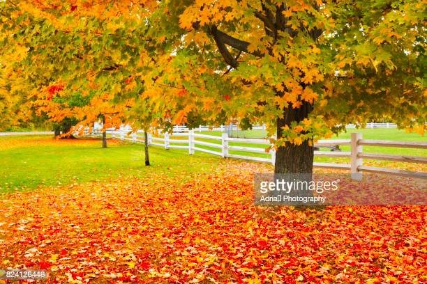 autumn in countryside - maple tree stock pictures, royalty-free photos & images