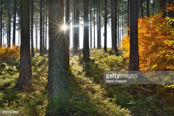 autumn in forest, backlight with sunbeams. harz, harz national park, saxony-anhalt, germany, europe. - saxony anhalt stock pictures, royalty-free photos & images