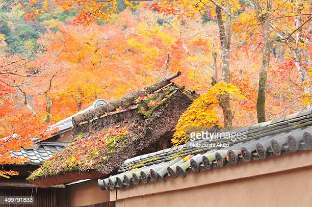 Autumn in Japan is very attractive season for its beautiful colors of Japanese maple, gingko and other trees. This photo shows maple leaves over the...