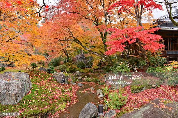 Autumn in Japan is very attractive season for its beautiful colors of Japanese maple and other trees. This photo was taken at Hogen-in Temple in...
