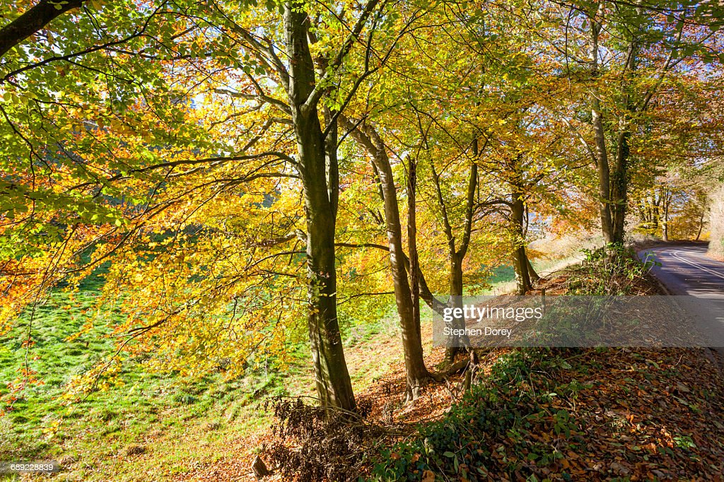 Autumn in the Cotswolds - Beech trees, Glos. UK : Stock Photo