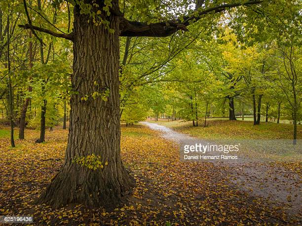 autumn in the forest with a path at daylight - elm tree stock pictures, royalty-free photos & images
