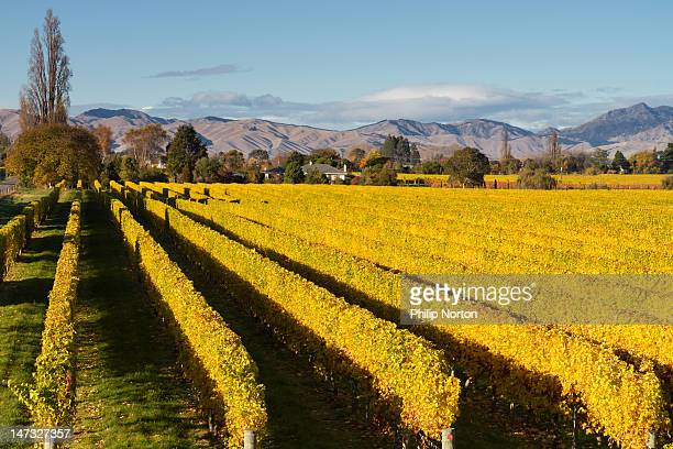 autumn in vineyard - marlborough new zealand stock pictures, royalty-free photos & images