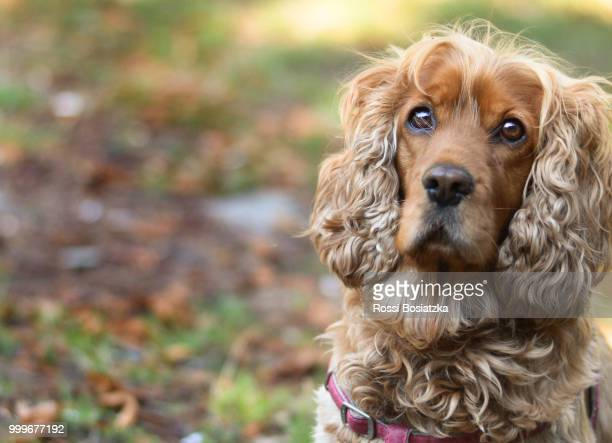 autumn is reflected in her eyes - cocker spaniel stock photos and pictures