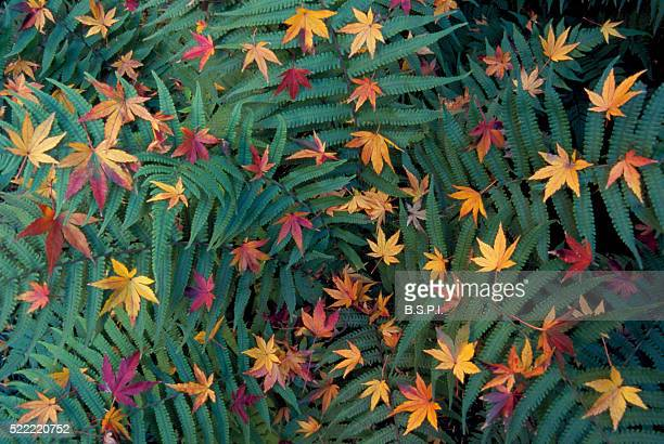 Autumn Japanese Maple Leaves on Green Ferns