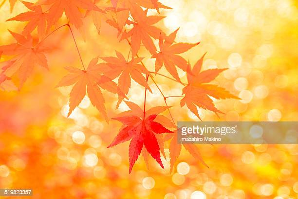 Autumn Japanese Maple Leaves