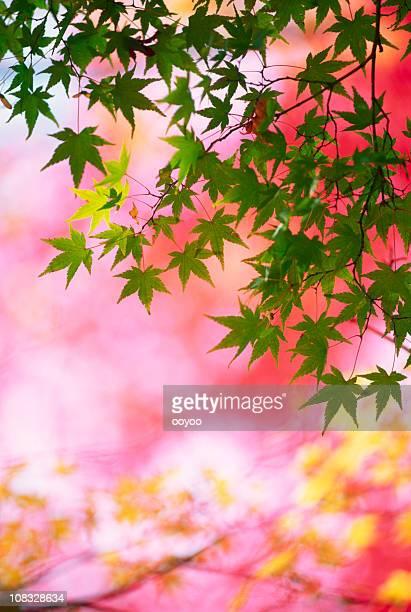 Autumn Japanese Maple
