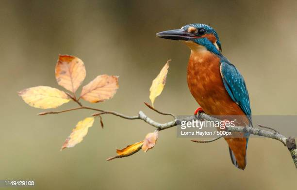 autumn kingfisher - kingfisher stock pictures, royalty-free photos & images