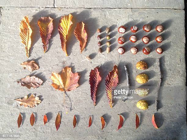 autumn knolling  - kastanie laubbaum stock-fotos und bilder