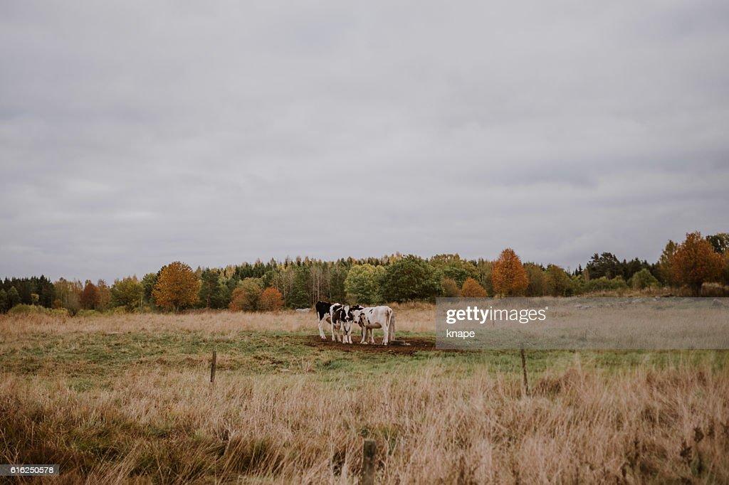 Autumn landscape cows on pasture : Foto de stock