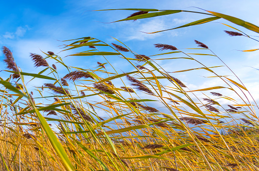Autumn landscape with reed plant 1096345810