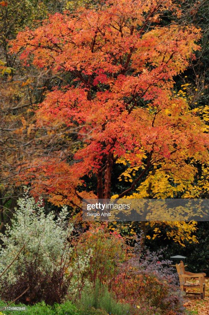 Autumn leaf colours in Belgravia, London : Stock Photo