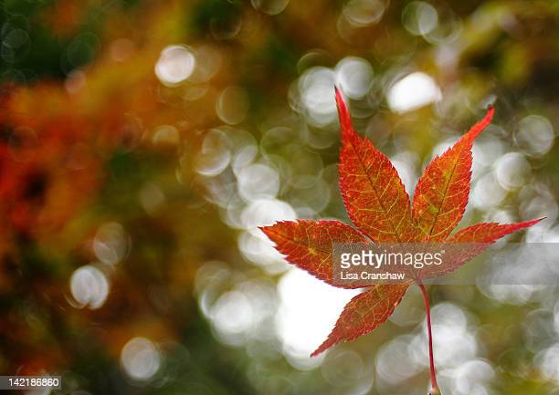 autumn leaf in new england - lisa cranshaw stock pictures, royalty-free photos & images