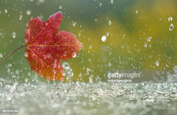 Autumn leaf in the rain
