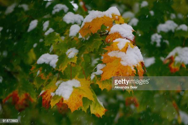 Autumn leaf is covered with snow on October 14 2009 in Berchtesgaden Germany Heavy snowfall hit Bavaria for the season's first time