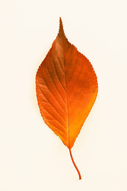 Autumn Leaf Isolated Against A White Background Wall Art