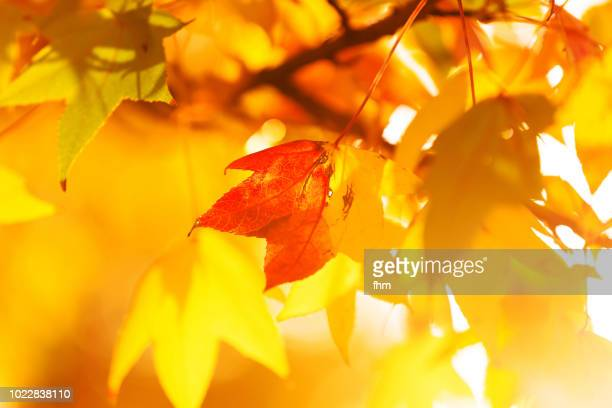 autumn leaf, light and colors - autumn leaf color stock pictures, royalty-free photos & images