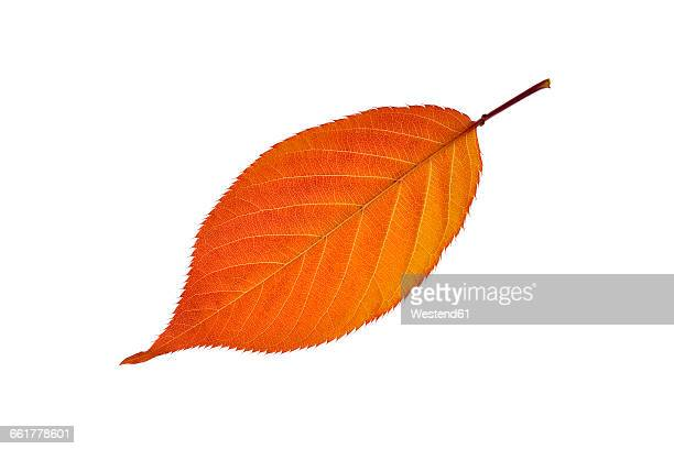 Autumn leaf of cherry tree in front of white background