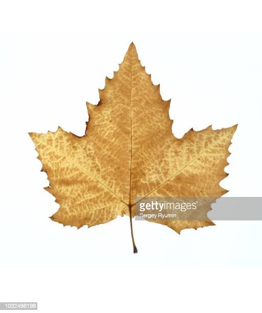 autumn leaf on a white background - sycamore tree stock photos and pictures