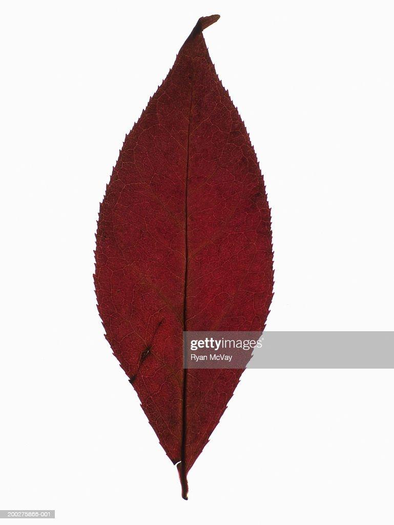 Autumn leaf : Bildbanksbilder