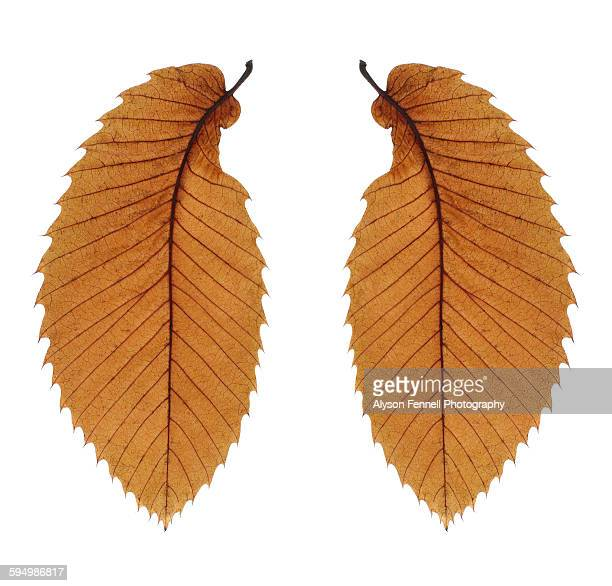 autumn leaf wings - alyson fennell stock pictures, royalty-free photos & images
