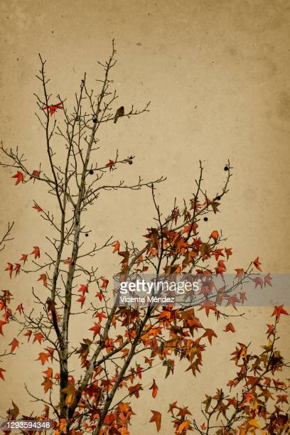 autumn leaves and branches - vicente méndez fotografías e imágenes de stock