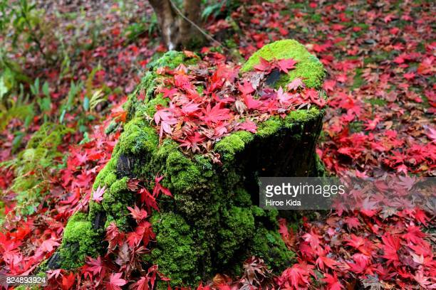 Autumn Leaves and moss