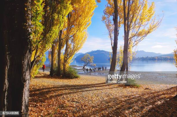 Autumn leaves and yellow poplar trees, and a tourist popular lone willow tree, on the shore of Lake Wanaka