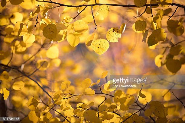 Autumn Leaves: Aspens