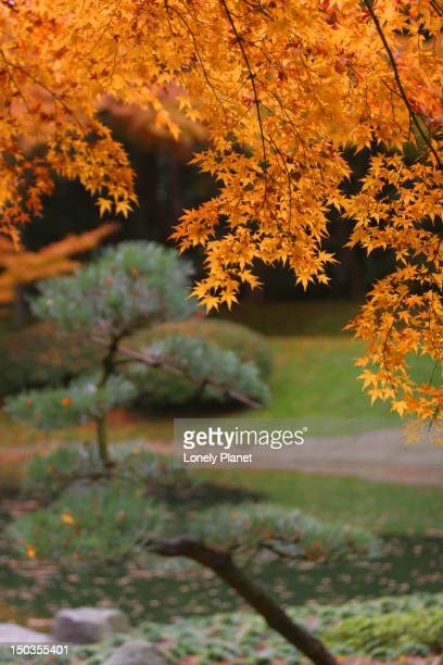autumn leaves at nitobe japanese garden, university of british columbia. - ubc stock pictures, royalty-free photos & images
