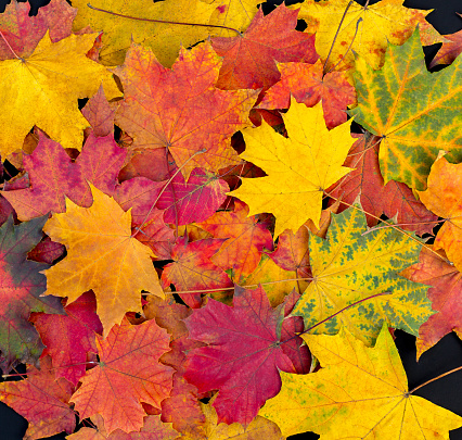 Autumn leaves background. Bright maple leaves 1058053994