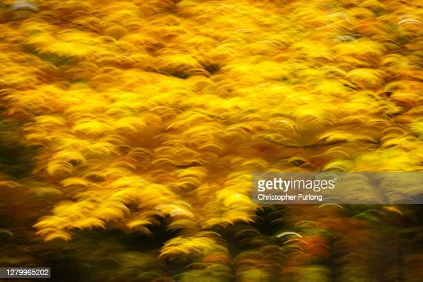Autumn leaves blow in a gentle breeze on October 13, 2020 in Knutsford, England. Experts are predicting a spectacular show of seasonal colour in...
