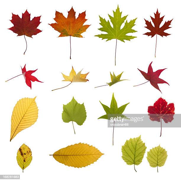 xxxl autumn leaves collection - grape leaf stock pictures, royalty-free photos & images