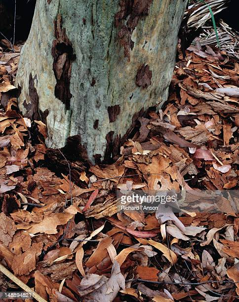 Autumn leaves contrast with the grey trunk of a native gum in the Carnarvon National Park.