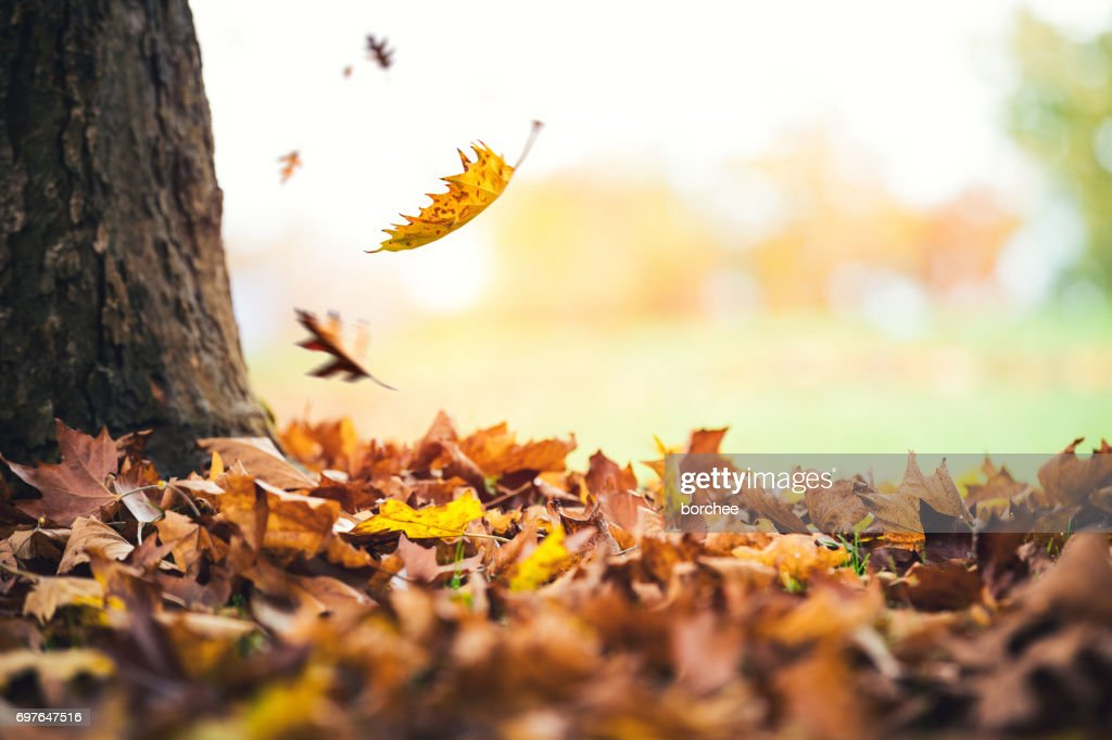 Autumn Leaves Falling From The Tree : Stock Photo