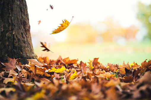 Autumn Leaves Falling From The Tree 697647516