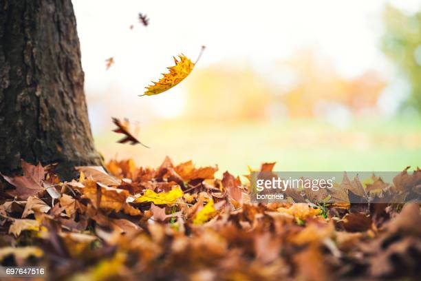 autumn leaves falling from the tree - falling stock pictures, royalty-free photos & images