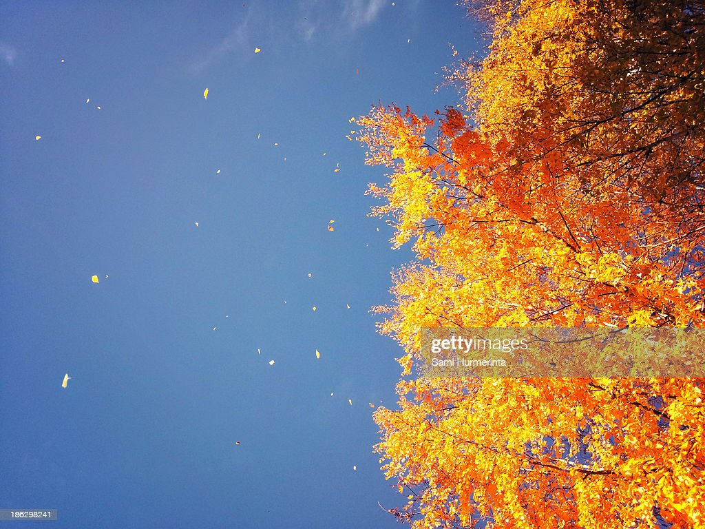 Autumn leaves flying in the wind : ストックフォト