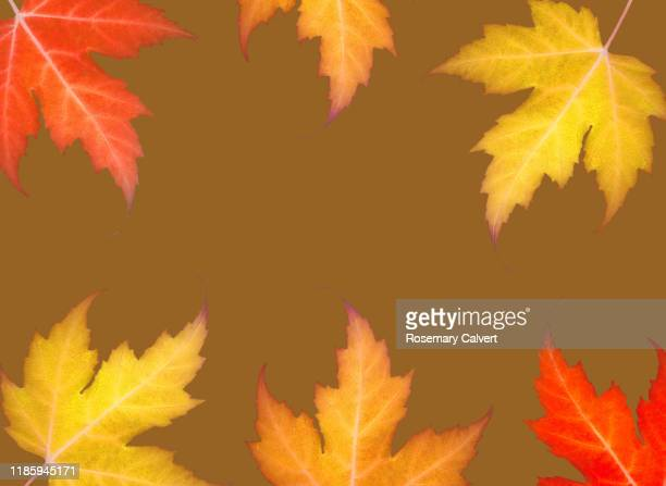 orange red yellow maple leaves yellow