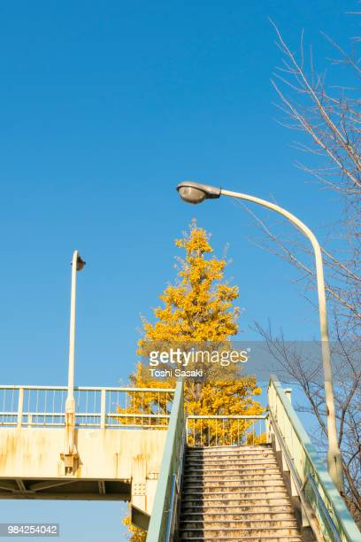 Autumn leaves Ginkgo tree stands behind the elevated pedestrian bridge under the clear blue sky at Yoyogihachiman Shibuya Tokyo Japan on November 29 2017.
