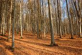 autumn leaves an oak forest