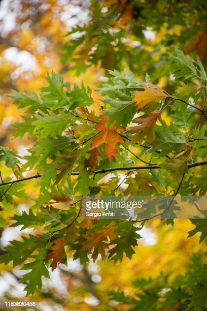 autumn leaves in hyde park, london - oak leaf stock pictures, royalty-free photos & images