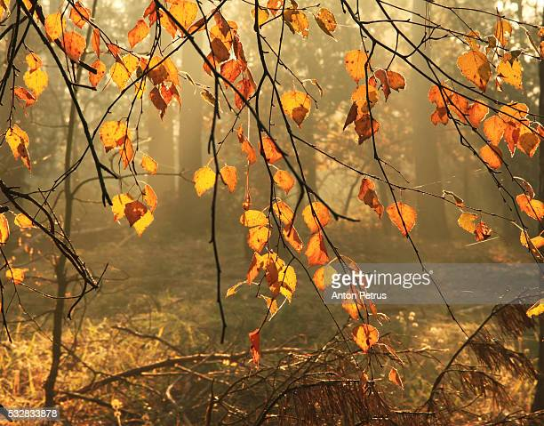 Autumn leaves in misty forest